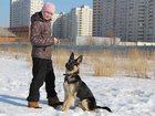 Скачать фото  убежал щенок немецкой овчарки в Железнодорожном, Ольгино 32435487 в Железнодорожном