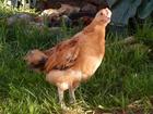 Скачать foto Птички Цыплята Кучинская Юбилейная 38859113 в Балашихе