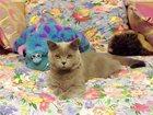 Фотография в Кошки и котята Вязка Шотланский страйт. 2 года. Добрый, романтичный в Жукове 3000