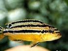 ����������� �   1. Melanochromis auratus. ������ 2 ��. - � ��������� 50
