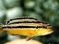 Продаю и отдаю даром цихлид озера Малави 1. Melanochromis auratus. мальки 2 см.
